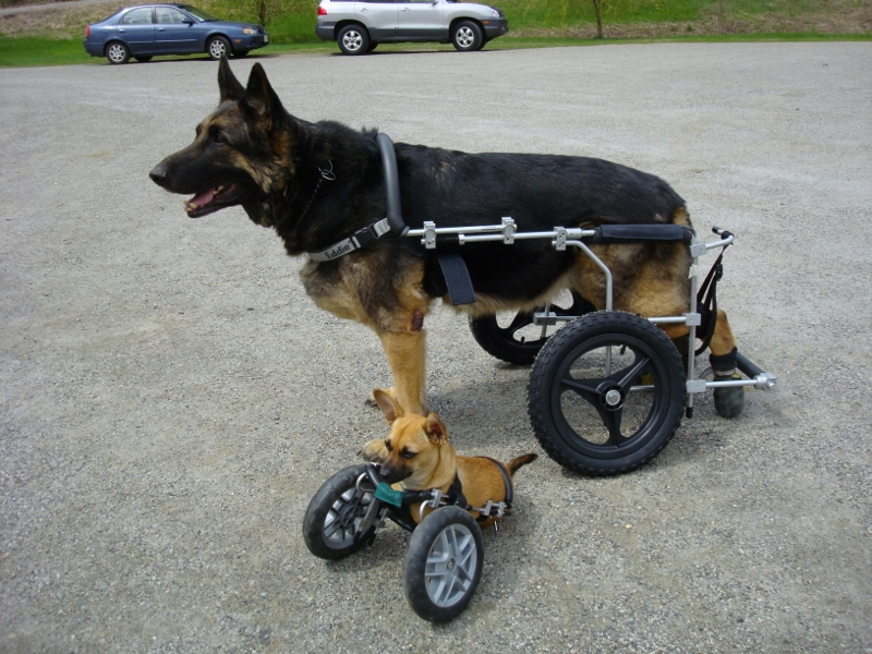 Cost of a Dog Wheelchair dog cart Quality of Life