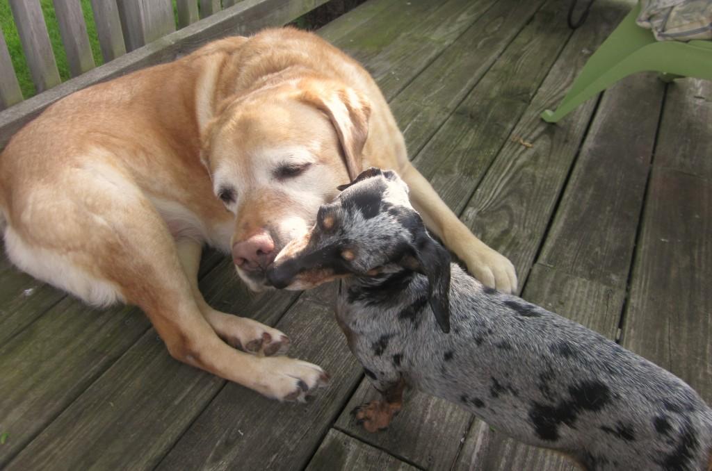 Blue Ribbon Heart Dog