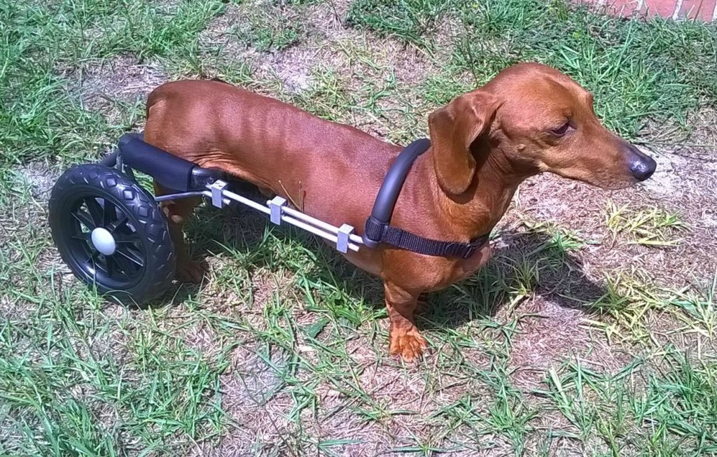 44th Paralyzed Dog Receives Donated Wheelchair. Last Day to Order T-Shirt.