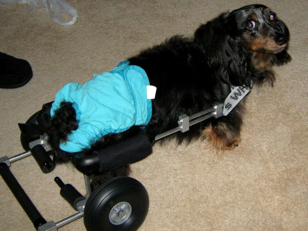 The Frankie Wheelchair Fund Helps 47th Dog with a  Wheelchair