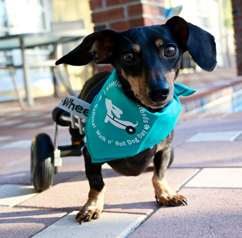 Come Meet Sammy! Granted a Wheelchair from The Frankie Wheelchair Fund (and available for adoption!)