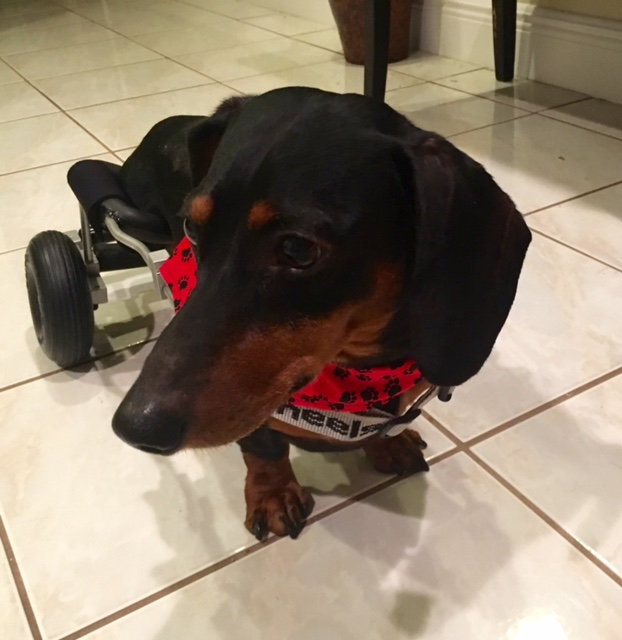 Alex Makes the 50th Dog Helped with a Dog Wheelchair!