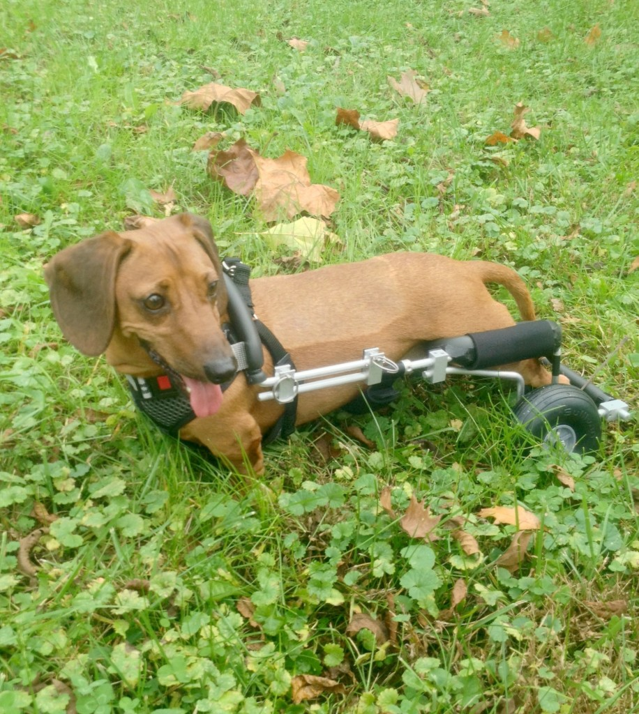 Meet Magoo! The 53rd Disabled Dog The Frankie Wheelchair has Helped.