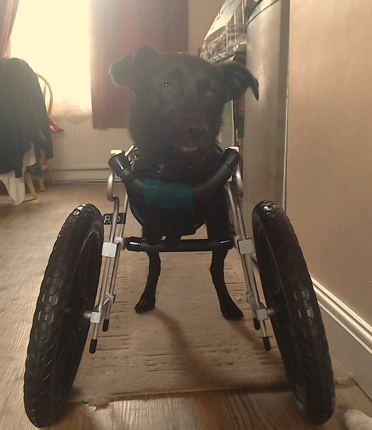 Double Amputee Dog Gets a Second Chance and a Set of Wheels