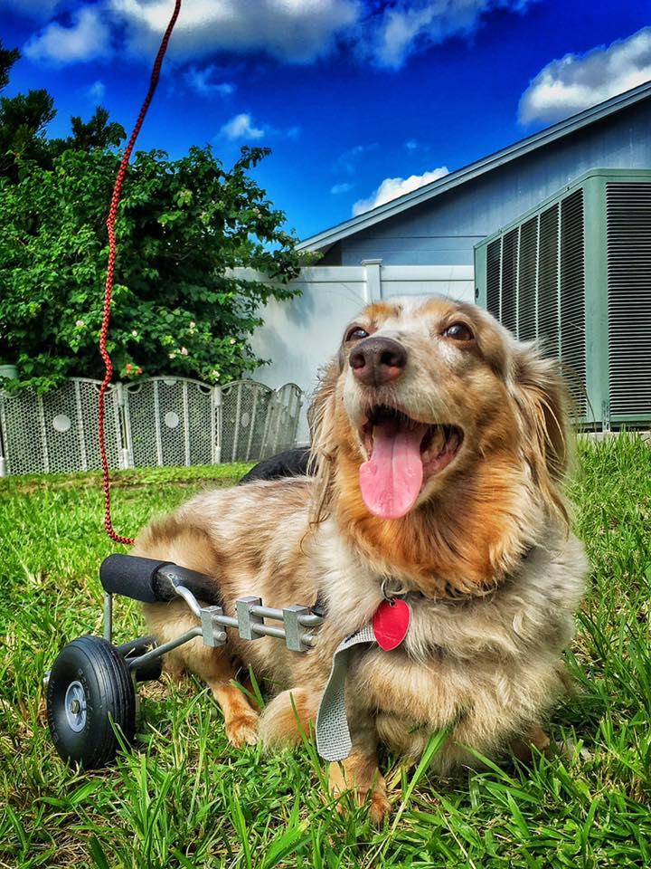 Meet Molly Mocha - Frankie Wheelchair Fund Recipient & Available for Adoption!