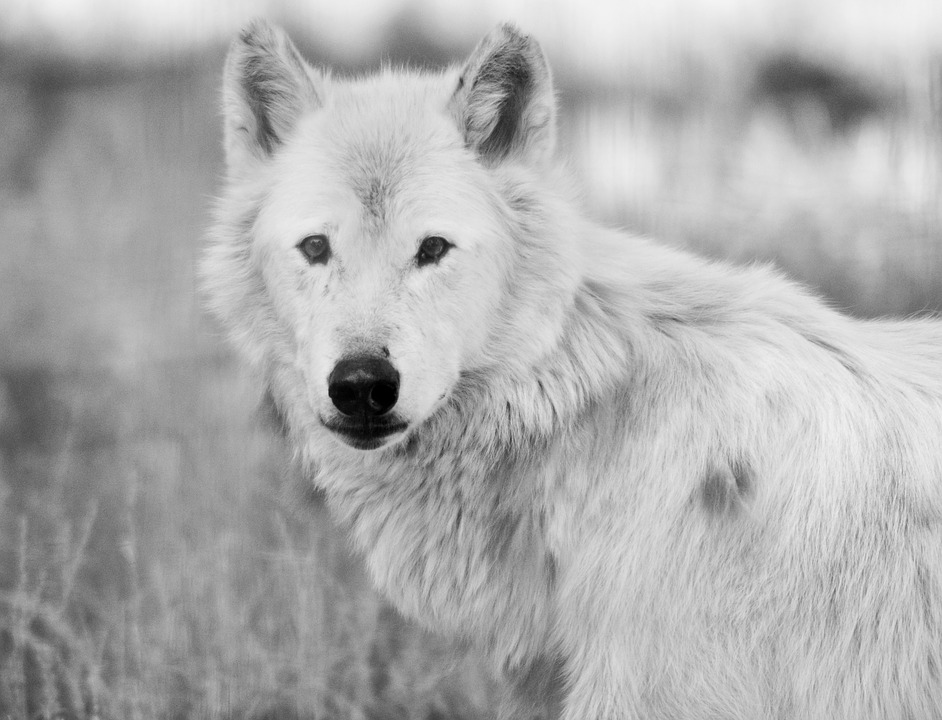 My Spirit Animal White Wolf Shared Her Name with Me